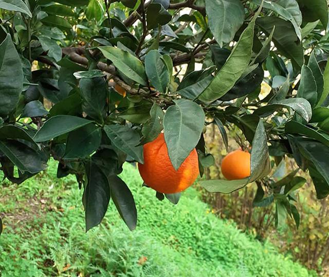 ricello-likoer-schweiz-sizilien-mandarine-2