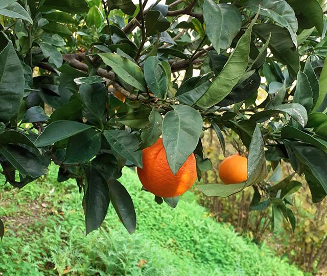 ricello-likoer-schweiz-sizilien-mandarine-3